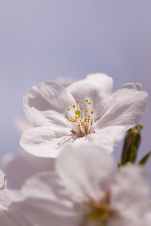 The cherry blossoms photo