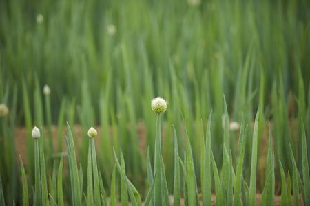 cebollas: campo de cebollas