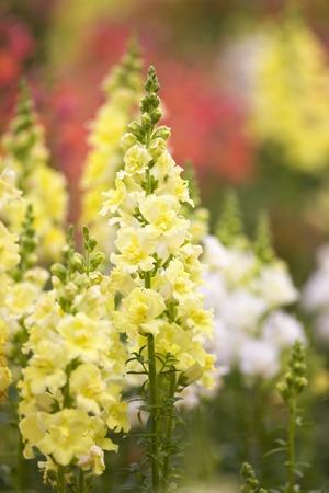 snapdragon: Snapdragon flower garden