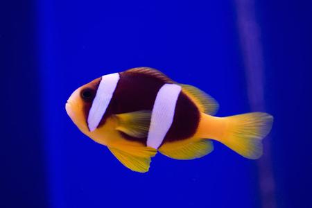 fish breeding: Clownfish