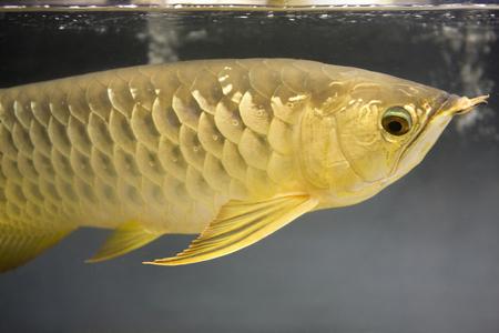 carnivorous fish: Asian Arowana
