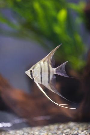fish breeding: Angelfish