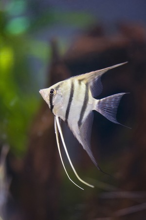 cichlidae: Angelfish