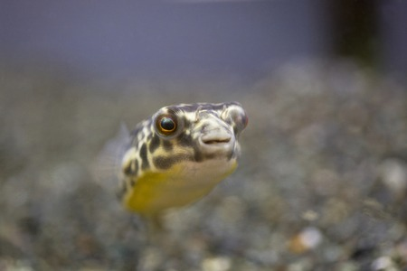 chaetodontidae: Freshwater puffer fish