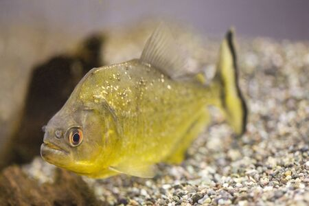 fish breeding: Piranha
