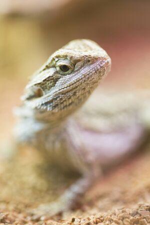 bearded dragon lizard: Bearded Dragon