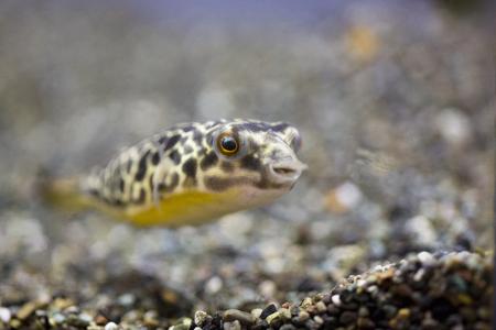 freshwater fish: Freshwater puffer fish
