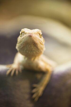 bearded dragon: Bearded Dragon