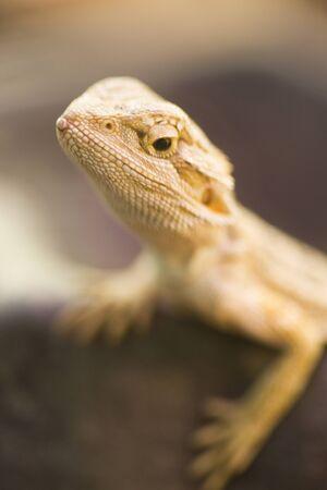 bearded: Bearded Dragon