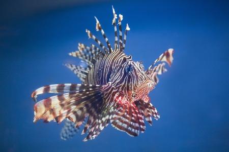 fish breeding: Lionfish