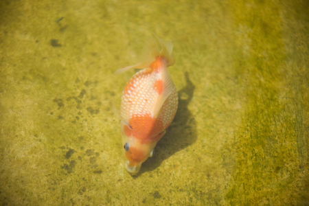 freshwater pearl: Goldfish, Carassius auratus Stock Photo