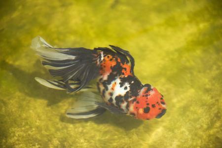 carassius auratus: Goldfish, Carassius auratus Stock Photo