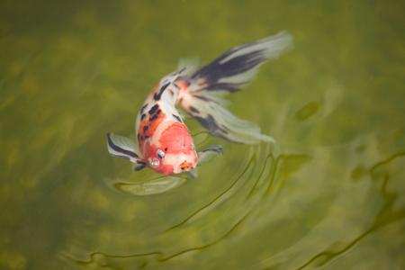 fish breeding: Goldfish, Carassius auratus Stock Photo