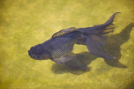 fish breeding: Seibungyo