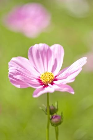 cosmos flowers: Cosmos flowers