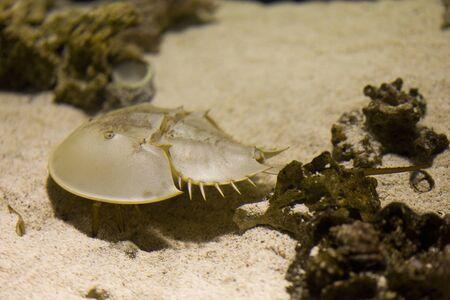 species living: Horseshoe Crab Stock Photo