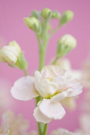 wallflower: Stock flower
