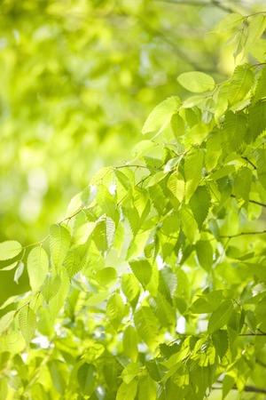 filtering: Young leaves of zelkova serrata Makino