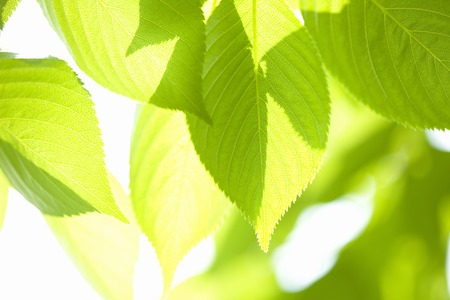 filtering: Cherry leaves Stock Photo