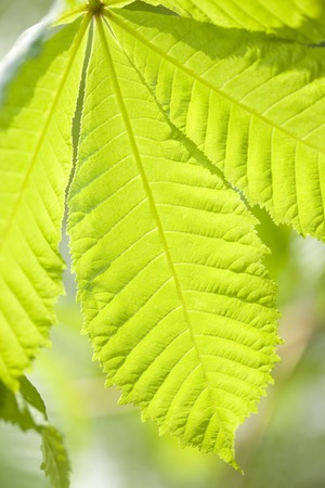 horse chestnut': Horse chestnut of young leaves