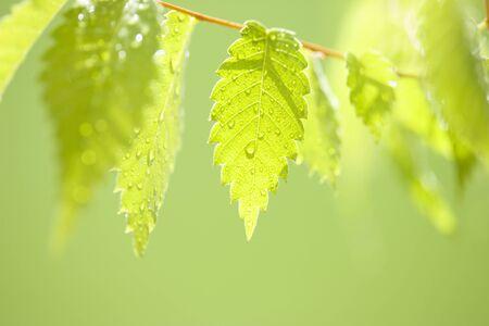 Beech leaves 写真素材
