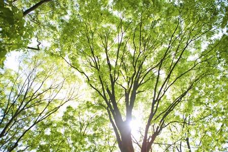 느티 나무 마키노의 어린 잎 스톡 콘텐츠