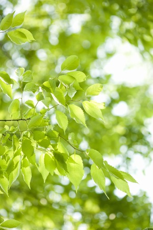 young leaves: Young leaves of zelkova serrata Makino
