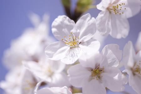Sakura flowers photo