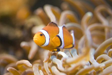 fish breeding: Clown fish