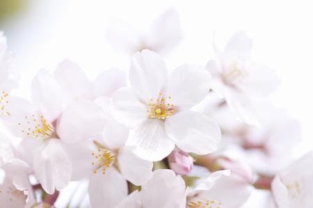 sakura flowers: Sakura flowers Stock Photo