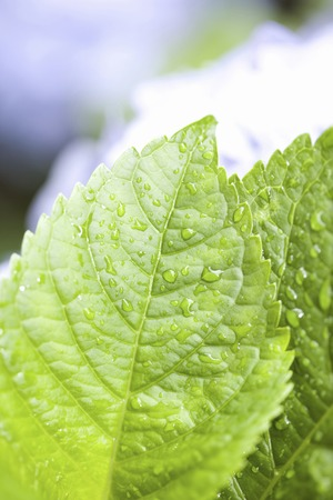 hakusan: Hydrangea leaf Stock Photo