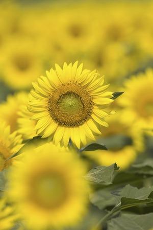 Sunflower field. photo
