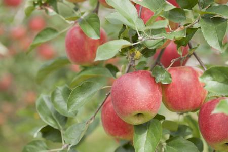 arbol de manzanas: Manzana arboledas sol Foto de archivo