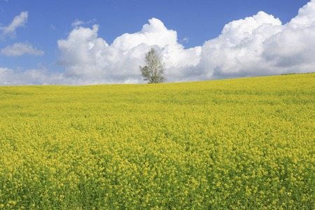 biei: Rape blossom field and clouds