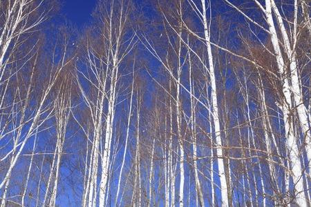 冬の白樺 写真素材 - 47142227