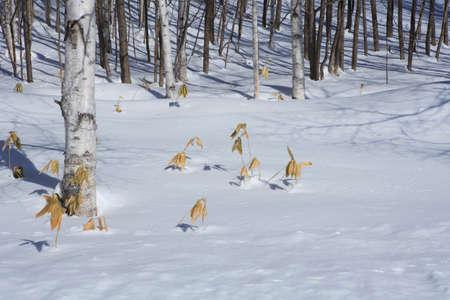 冬の白樺 写真素材 - 47142231