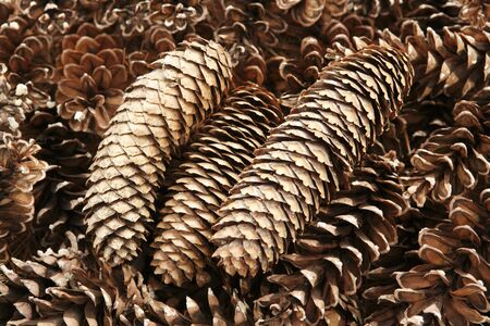 pinecone: Pine cones Stock Photo