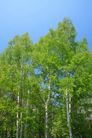 Birch forests of the fresh green