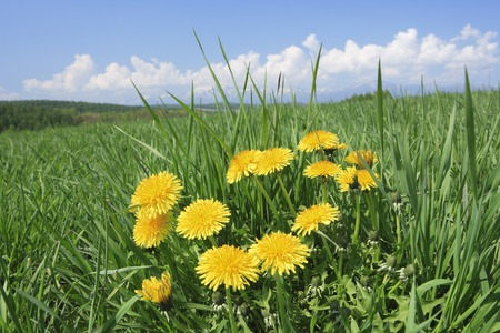 plateau of flowers: Grass and dandelions Stock Photo