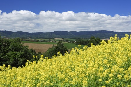 reluctant: Rape field Stock Photo
