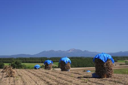 adzuki bean: Rural landscape