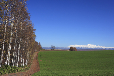 fall landscape: Birch forests and Daisetsuzan