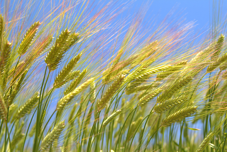 simultaneous: Wheat