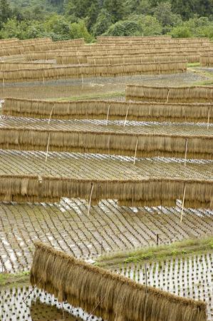 bridged: Rice hung Dried