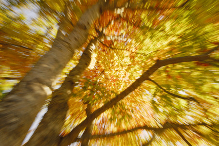japanese maples: Autumn leaves