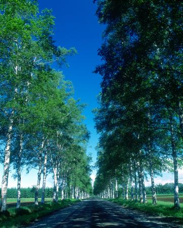 treelined: Birch tree-lined street