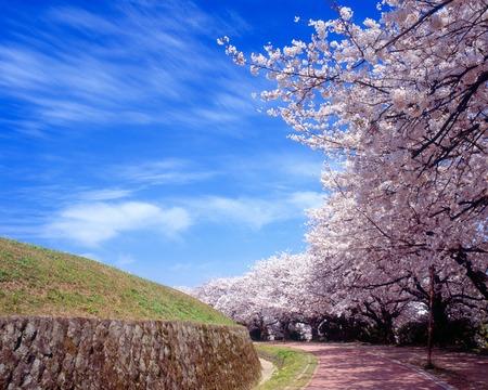Viale della ciliegia