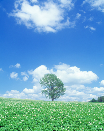 potato tree: One trees and blue sky in the potato fields tree of philosophy