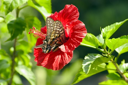 swallowtail: Hibiscus and swallowtail butterfly Stock Photo