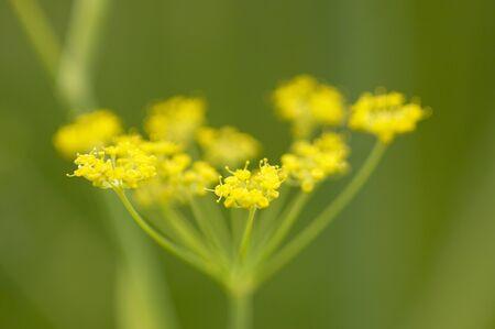 rutaceae: Sweet fennel